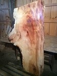"70"" X 44"" TO 24"" X 2  INCH THICK MASSIVE FIGURED SYCAMORE! SPALTED FIGURED PRIMITIVE LIVE EDGE SYCAMORE LUMBER! WIDE WOOD! 1 HUGE SLAB! L-118"